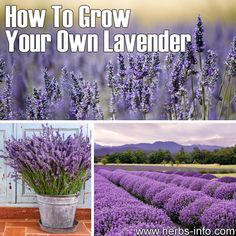 How To Grow Your Own Lavender