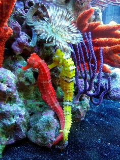 Colorful coral and Seahorses