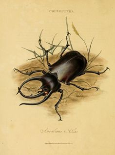 """""""Atlas scarab."""" An epitome of the natural history of the insects of India. 1800. Frontispiece Friday."""