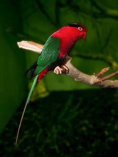 Papua-Lori / Papuan Lorikeet (Charmosyna papou)