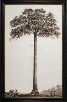 "John Muir Tribute Tree. 45""x72"""