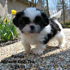 Black and White Shih Tzu Puppy raised at Miracle Shih Tzu, NE Ohio, USA http://miracleshihtzu.com