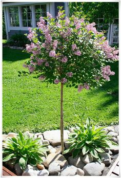 Framed Lilac – The Blue House News: juni 2013 Plants, Front Yard Landscaping, Small Gardens, Garden Pictures, Backyard Garden, Outdoor Gardens, Garden Inspiration, Hosta Gardens, Nature Garden