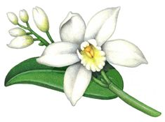 Vanilla plant with one flower, five buds and no vanilla bean