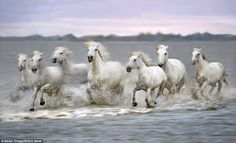 A herd of Camargue horses belonging to several ranches of the Camargue region in southern France gallop through a calm saltwater delta of the Rhone River Most Beautiful Animals, Beautiful Horses, Beautiful Creatures, Seven Horses Painting, Wild Horses Running, Horse Galloping, Horse Wallpaper, Wild Mustangs, White Horses
