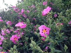 Now you can instantly identify just about any flower or plant using Garden Answers, the intelligent plant identification mobile app available for IOS and Android devices. Shazam for plants. Rock Rose, And July, Evergreen Shrubs, Poppy, June, Cold, Warm, Winter, Garden