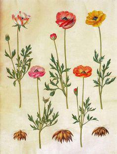 62343 Ranunculus asiaticus L. / Gottorfer Codex,  (1649-1659)