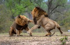 The two male lions were seen lashing out at one another in a brutal encounter in Sabi Sand Reserve, in the south western section of Kruger National Park, South Africa. Animal Sketches, Animal Drawings, Lion Walking, Lion Love, Lion Wallpaper, Male Lion, Lion Of Judah, Kruger National Park, Prehistoric Animals