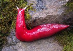 SCOOP - La notizia della scoperta di lumache giganti dal colore rosa shocking arriva dall'Australia. Gli esemplari, dalla incredibile lunghezza di 20 centimetri, vivono nelle vicinanze del monte Kaputar, nell'area del New South Wales, e sembrerebbero apparse dopo abbondanti pioggie