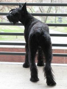 Giant Schnauzers are not as large as some other protection breeds, but they are solidly built.