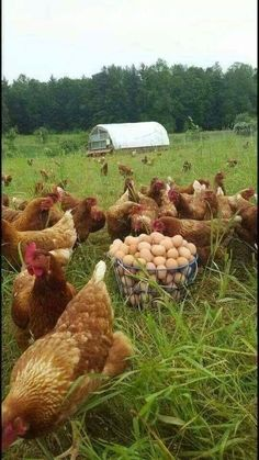 3 Best Egg Laying Chickens For Your Backyard – Chicken In The Shadows Best Egg Laying Chickens, Chickens And Roosters, Raising Chickens, Country Farm, Country Life, Country Living, Gallus Gallus Domesticus, Beautiful Chickens, Hens And Chicks