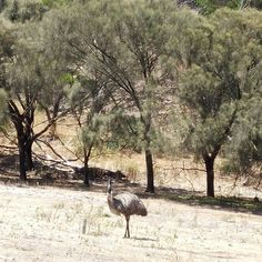 Emu's anyone? If you love to see wildlife Tower Hill near Warrnambool is the spot. We saw emu's koalas and plenty of beautiful scenery. #towerhill #warrnambool #emu #australia #seeaustralia #loveaustralia #amazingaustralia #victoria #greatoceanroad by cockatoo_collection