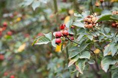 On l'utilise en parfumerie, mais on en fait aussi des confitures et des gelées. Le fruit du rosier des chiens (églantier) a de nomreuses vertus médicinales. Découvrez-les dans notre article :