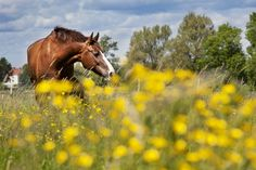 A horse grazing in the Swedish countryside. Sweden has one of the highest numbers of horses per capita in Europe, and there is a deeply rooted tradition of high quality horse management and breeding. Photo by; Melker Dehlstrand