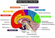 Median Section of Human Brain Anatomical structure diagram infographic chart  with all parts cerebellum thalamus, hypothalamus lobes, central sulcus medulla oblongata pons pineal gland figure