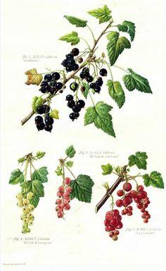 Ribes nigrum & Ribes rubrum var.  Currants, by Hazel West-Sherring