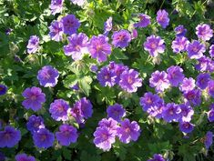 Plant/Garden Photograph: Geranium 'Johnson's Blue' - For more information about this plant please see our Plant Database Herbaceous Perennials, Blue Garden, Geraniums, Plants, Image, Trees, English, Google Search, English Language