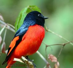 Short billed minivet