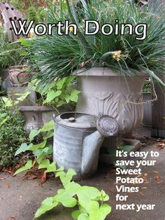 See  the Beauty in the Ordinary: Worth Doing: Save your Sweet Potato Vines for Next...