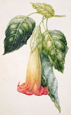 Trumpet Print featuring the painting Thorn Apple Flower From Ecuador Datura Rosei by Augusta Innes Withers Illustration Botanique, Illustration Art, Illustrations, Vintage Botanical Illustration, Botanical Flowers, Botanical Prints, Watercolor Flowers, Watercolor Art, Apple Flowers