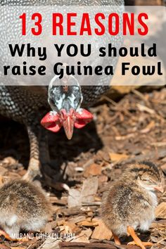 Why should we raise guinea fowl? 13 reasons why you need guineas on your farm or homestead. From bug control to amusement, guineas are a great addition to any farm or homestead. Backyard Poultry, Chickens Backyard, Types Of Poultry, Guinea Fowl, Bug Control, Urban Homesteading, Game Birds, 13 Reasons, Hobby Farms