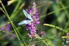Unterwegs im Müritz Nationalpark | Schmetterlinge im Spätsommer an der Müritz (c) Frank Koebsch (1)