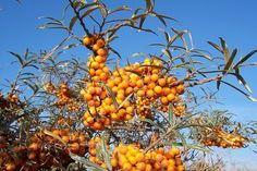 Zázračná rostlina Rakytník