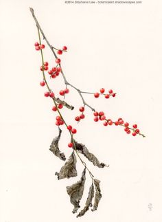 Stephanie Law - Botanical Art Ilex verticillata common winterberry