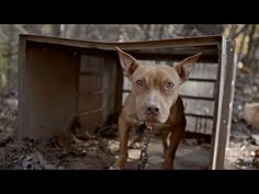 Dogs & Puppies Rescued From Suspected AL Dogfighters - YouTube