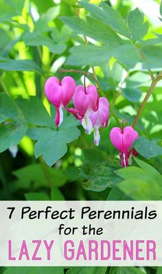 """If you're a """"lazy gardener"""" you can still have a beautiful yard! These 7 types of perennials alone offer a lot of variety in terms of color, size, and scent! Add some of these perennials for the lazy gardener to your landscaping and you'll have a low-maintenance, yet beautiful, yard!"""