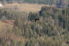 Phalacrocorax carbo - Kormoran Nature Pictures, Bald Eagle, Birds, Mountains, Travel, Animals, Voyage, Animales, Trips