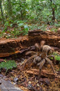Amazonian Spider The Size Of A Puppy Discovered By Scientist