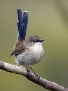Ravishing little Fairy Wren: Malurus cyaneus, by David Cook