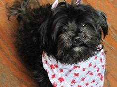HOLLY - SpecialityFemale / Spayed Fee $375  Foster Location Thornhill, ON  Breed Guess Shih Tzu / Poodle Cross  Age 1 Year Old Weight 8.6 Lbs