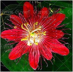 5pcs Passion Flower (Passiflora incarnata), plant Exotic Passion Fruit Seeds Passiflora Edulis for home garden