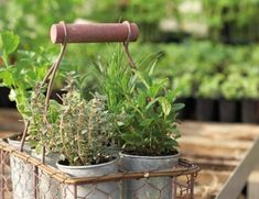 Herbs are the name given to a wide variety of plants across many families. Usually, herbs are employed as flavoring in cooking or baking; these plants are versatile, used fresh or dried. Most herbs . Balcony Garden, Garden Planters, Container Gardening, Gardening Tips, Herb Container, Indoor Gardening, Culture D'herbes, Pot Jardin, Deco Nature