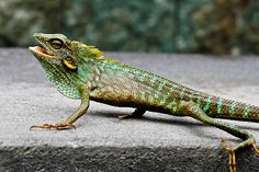 Colorful Lizards | Green Crested Lizard (Color change), Bronchocela cristatella by Normf