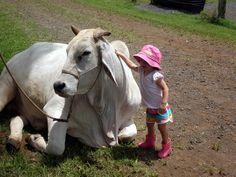 brahman cow