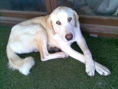 Peke  Cachorra de Mastín encontrada en la ruta que va de Jaén a Málaga. Pesa 30 kg y tiene aproximadamente 1 añito. Se lleva muy bien con perros y a los gatos los ignora.   Ahora está en casa de acogida pero se busca una adopción responsable. Alguien quiere llevarse a casa a este gran bebé?