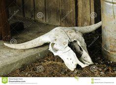 Texas Longhorn Skull Royalty Free Stock Images