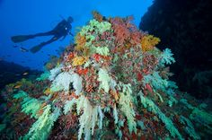 Large colony of Soft Corals on overhang, silhouette of diver with torch in background, Vaavu Atoll, The Maldives