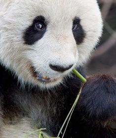 A giant panda snacks on bamboo at the Vienna Zoo in Austria.    Photograph by Joe Petersburger, National Geographic