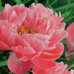Coral Sunset Peony ... On Sale at Spring Hill Nursery