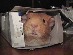 Romeo in an empty Kleenex box! (Forgot to add to my last pig photo post, but we acquired Romy a week after Chiisai was put to sleep. Guinea Pig Photo - Romy in Box Animals And Pets, Baby Animals, Funny Animals, Cute Animals, Small Animals, Pig Pics, Guniea Pig, Baby Guinea Pigs, Cute Piggies