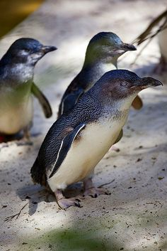 Fairy Penguins - the smallest penguins!  2 lbs! These penguins are from Australia and New Zealand.