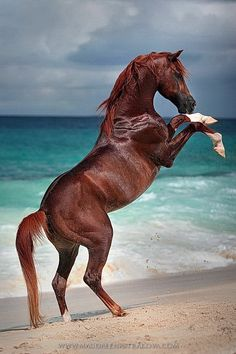 """ Seychelles: a dream come true… Beautiful horses running free on beautiful beaches, a true paradise! Arabian stallion Tyfoon rearing on cue Magdalena Strakova Horse Photography """