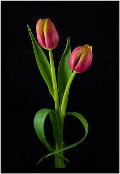 Heart Tulips by Pete Franks / Lotus Flower Pictures, Flower Images, Flower Photos, Tulips Images, Vintage Flowers Wallpaper, Beautiful Flowers Wallpapers, Flower Wallpaper, Tulips Flowers, Exotic Flowers