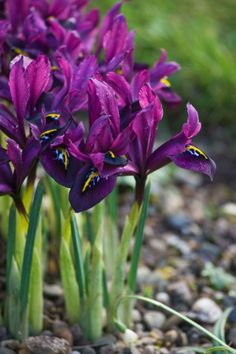 Iris Reticulata 'George' posted by Clive Nichols Garden Photography FB page Beautiful Flowers, Flowers Nature, Flowers, Garden Bulbs, Purple Garden, Early Spring Flowers, Winter Garden, Garden Photography, Spring Flowers