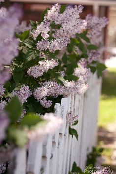 Lilac blossoms and a white picket fence