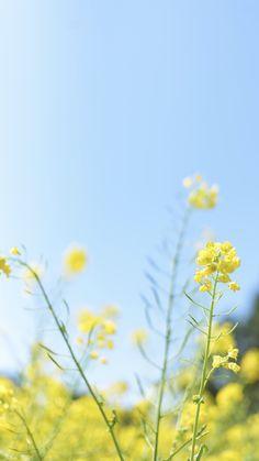 Flower, canola, yellow and garden HD photo by Masaaki Komori ( on Unsplash